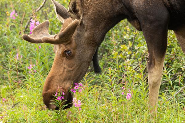 AlaskaWildBerry-Moose1