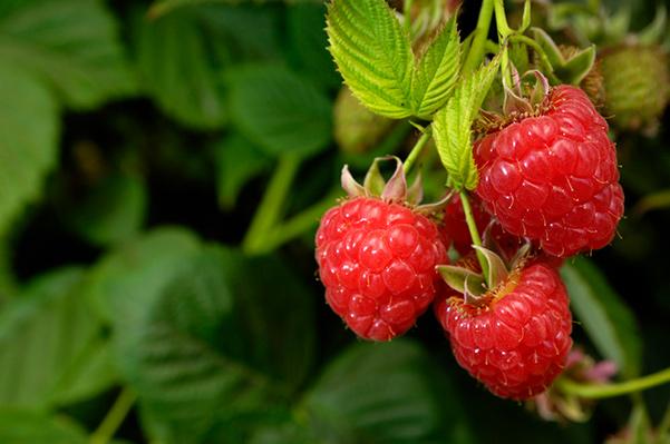 AlaskaWildBerry-Raspberries