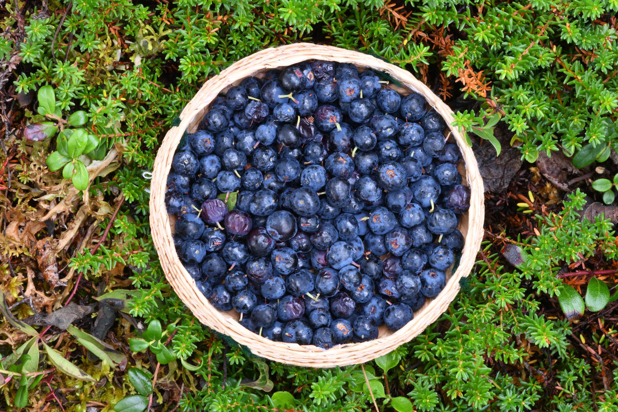 Wild Alaskan blueberries in a basket.