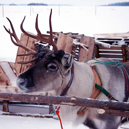 Alaskan Reindeer